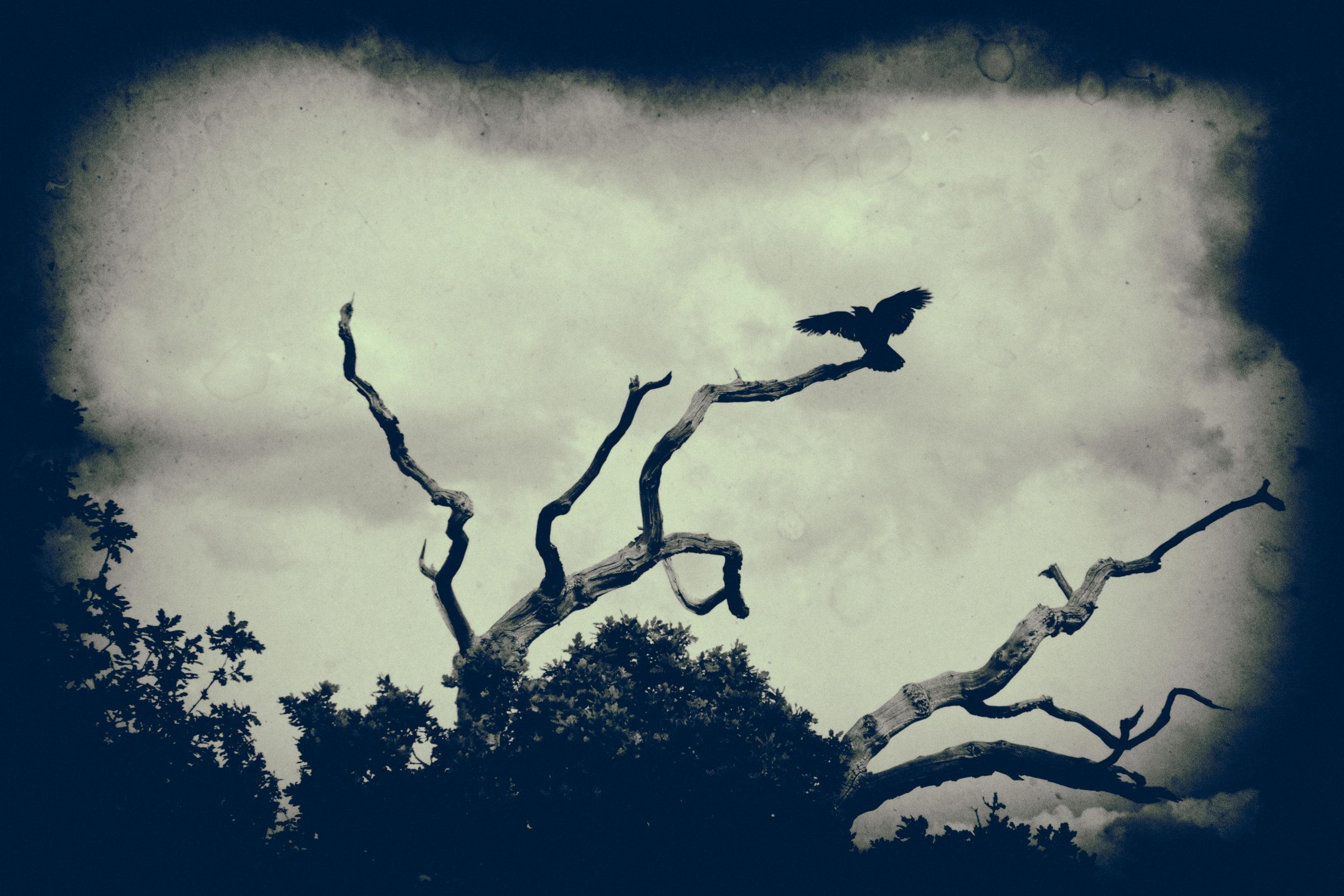 Spooky crow in tree