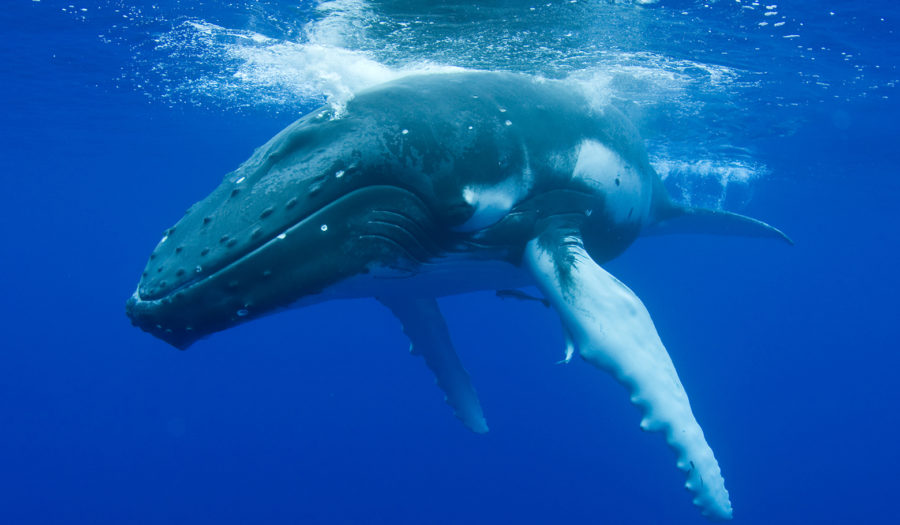 whale swimming in ocean